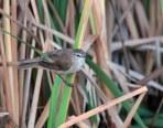 Lesser Swamp-Warbler