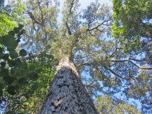 A massive Yellowwood
