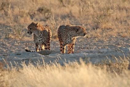 Cheetahs at the waterhole at Grootkolk