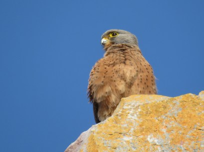 A Rock Kestrel watched us walk by