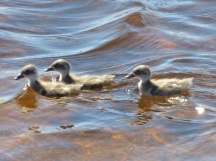 Cape Teal Ducklings