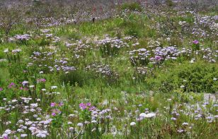 A Field of Pseudoselago serrata