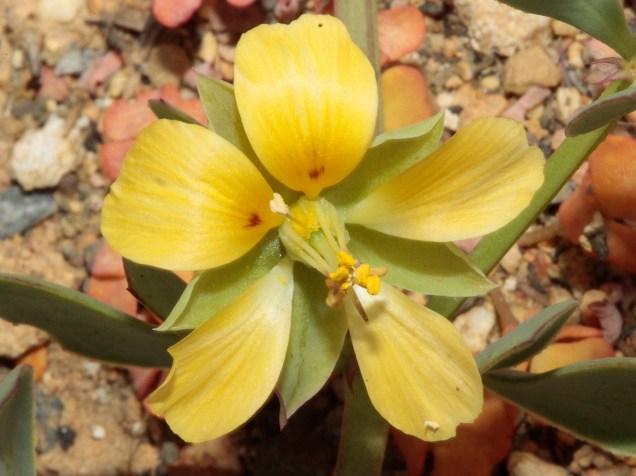 Zygophyllum sp.