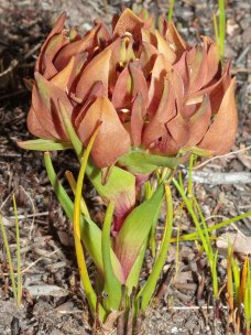 Disa bodkinii - the same plant