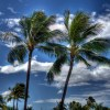 palms on beach at Oahu - Hawaii - Nort shore