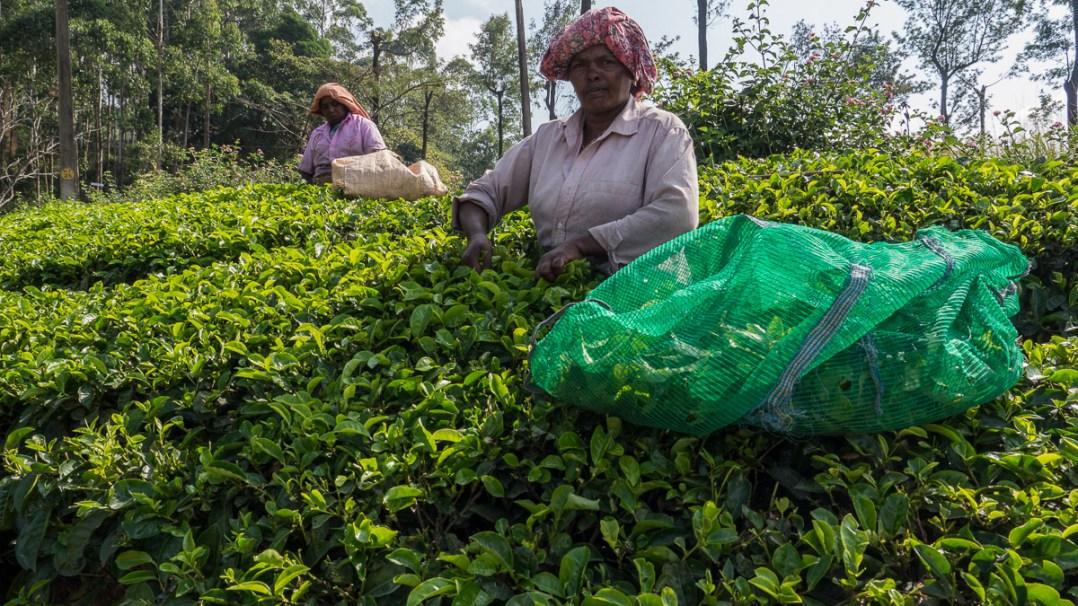 Tea Gardens of Munnar photo