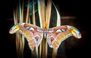Atlas Moth, Bali, Indonesia photo