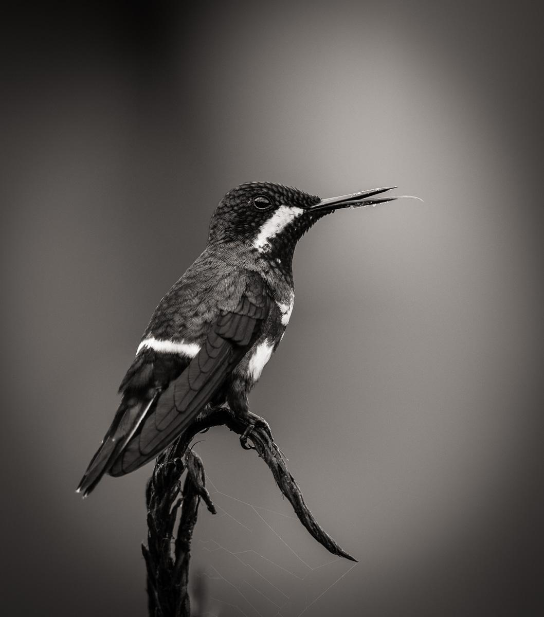 Green Thorn-tail Hummingbird - Costa Rica