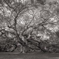 Ancient Angel Oak Tree