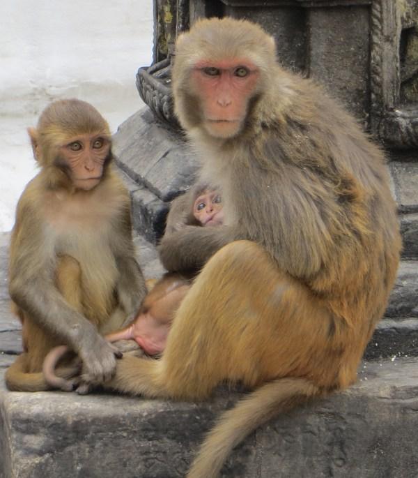 "Monkey's at the ""monkey temple"""