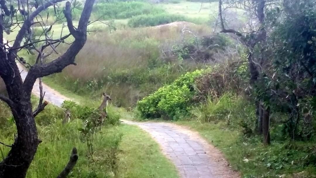 kangaroo on trail