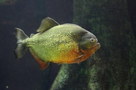 piranha aquarium genau