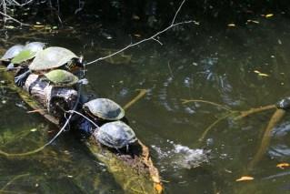 Schildkröten sieht man in den Homosassa Springs recht häufig.