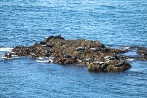 Auch sehr gut von den Klippen in Látrabjarg zu sehen: Seehunde.