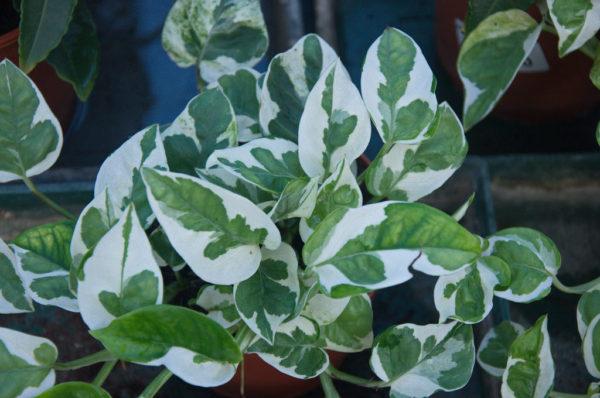 Виды и сорта комнатного растения сциндапсус, родина цветка ...