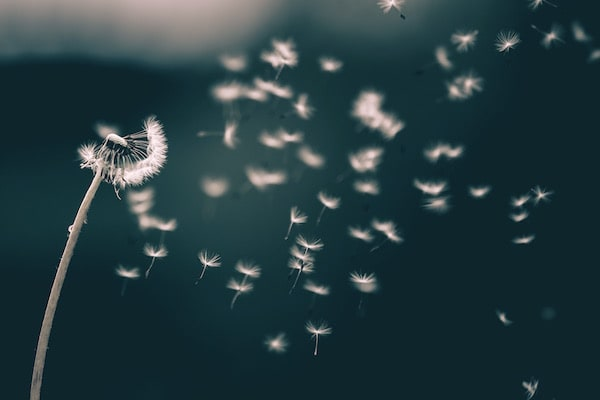 A dandelion being blown to make a wish.