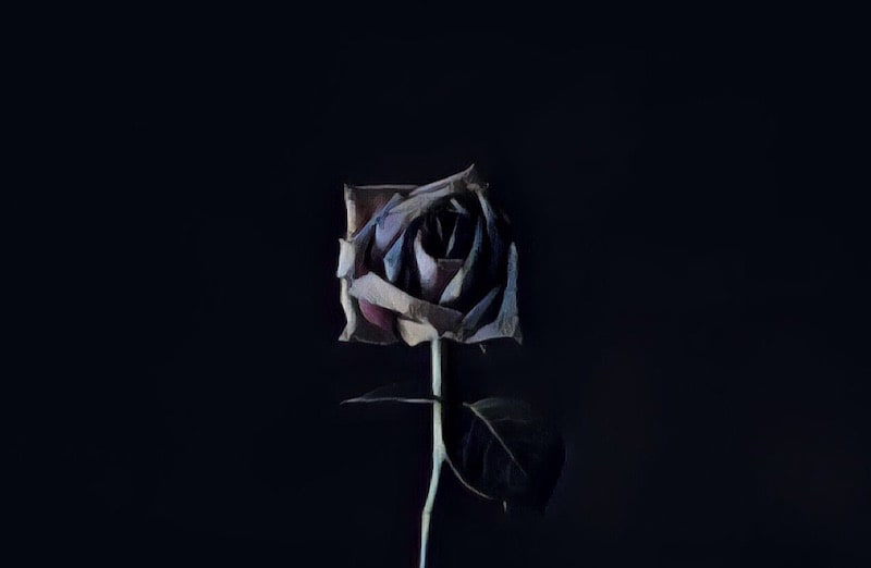 A dying rose against a black backdrop.