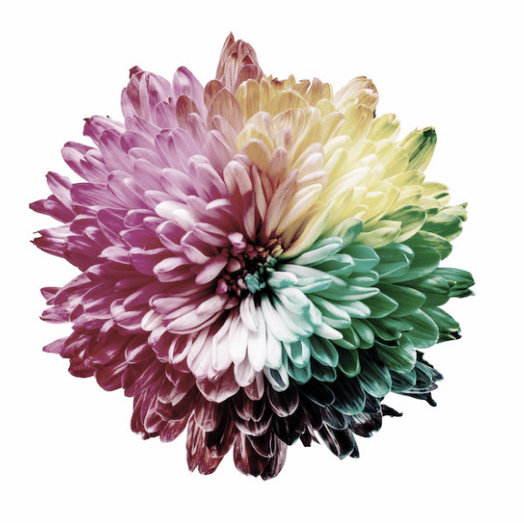 A flower depicting the color spectrum in Blue Cone Monochromacy