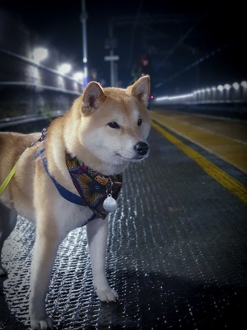 A beautiful shiba on a train platform at night.