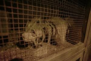 In-game: A decaying rodent in a cage.