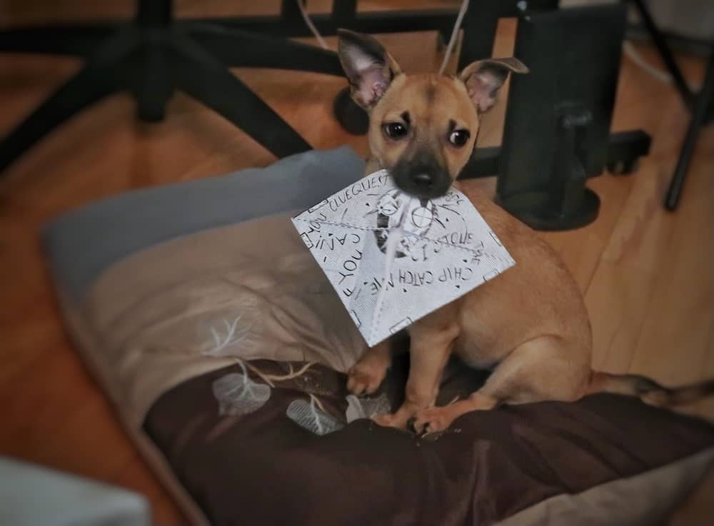 Incredibly adorable puppy with a paper puzzle piece in her mouth.