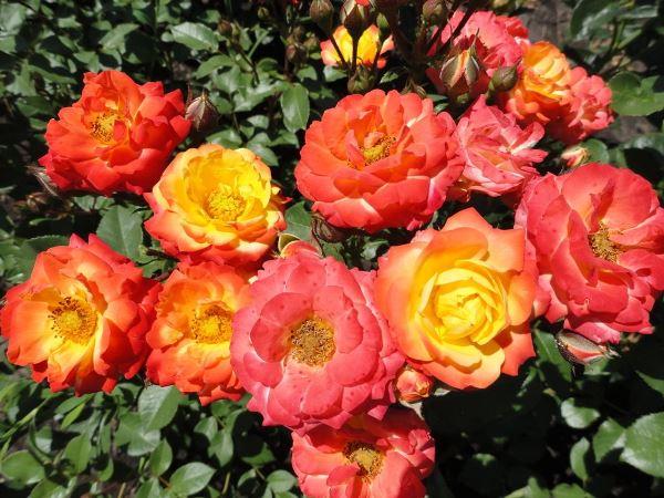 роза бэби карнавал