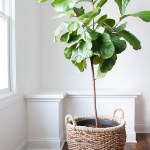How To Repot A Fiddle Leaf Fig Tree Room For Tuesday