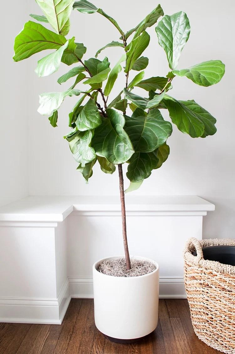 fiddle leaf fig tree in modern planter