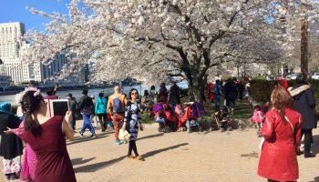 Cherry Blossoms, Roosevelt Island