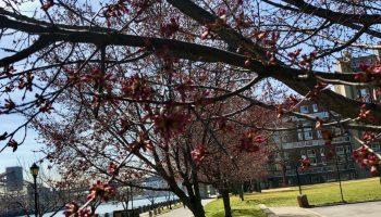 Cherry Blossom Buds, East Promenade.