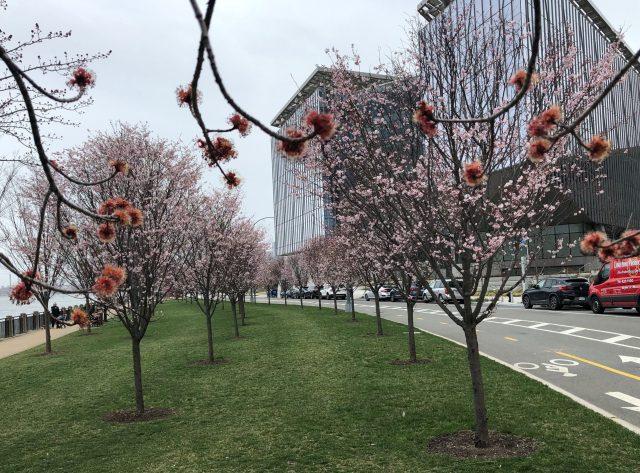 Roosevelt Island's first cherry blossoms
