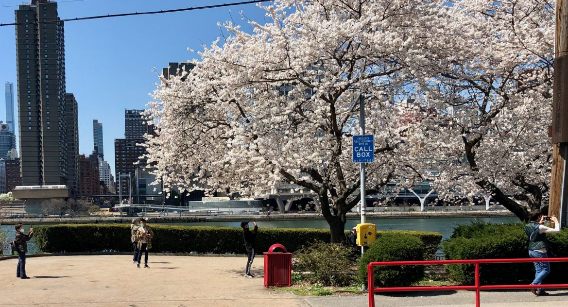 Point and Shoot: In Cherry Blossom Season, Roosevelt Island's the Capital