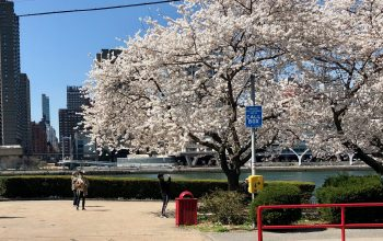 Point and Shoot: Roosevelt Island Cherry Blossom Photographers