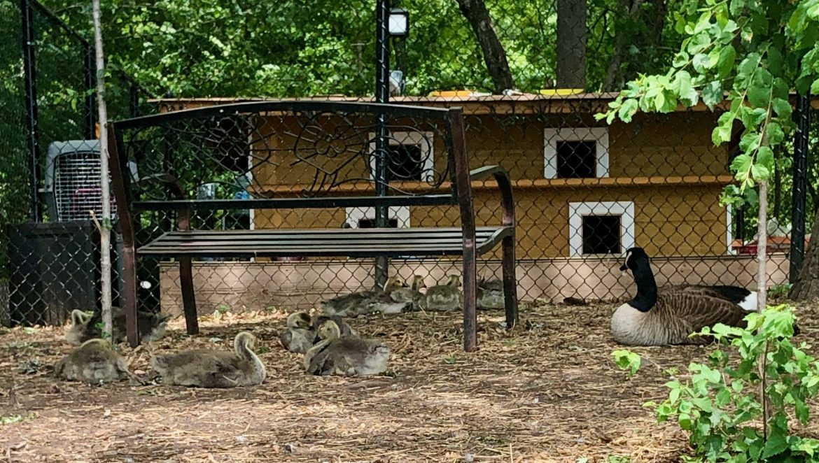Canadian Geese Survived Troubled Times, Protected by WFF Sanctuary