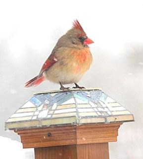 female_cardinal_20150204