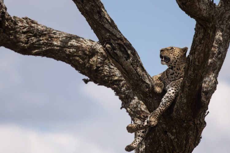 learn cats mistakes leopard tree fall fence