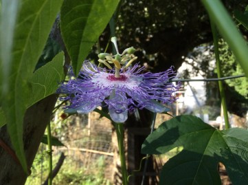 Beautiful passionflower blooms!