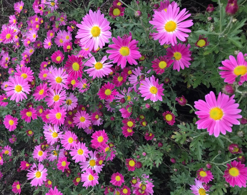Resilient Plants: Hardy Mums