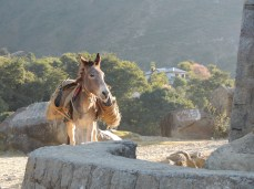 A donkey carrying slate, which is still mined in the Dhauladhar hills where I live now.