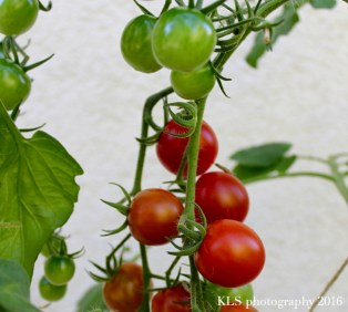 Tomatoes changing colour.