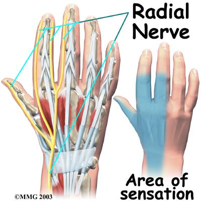 hand_anatomy_nerves02