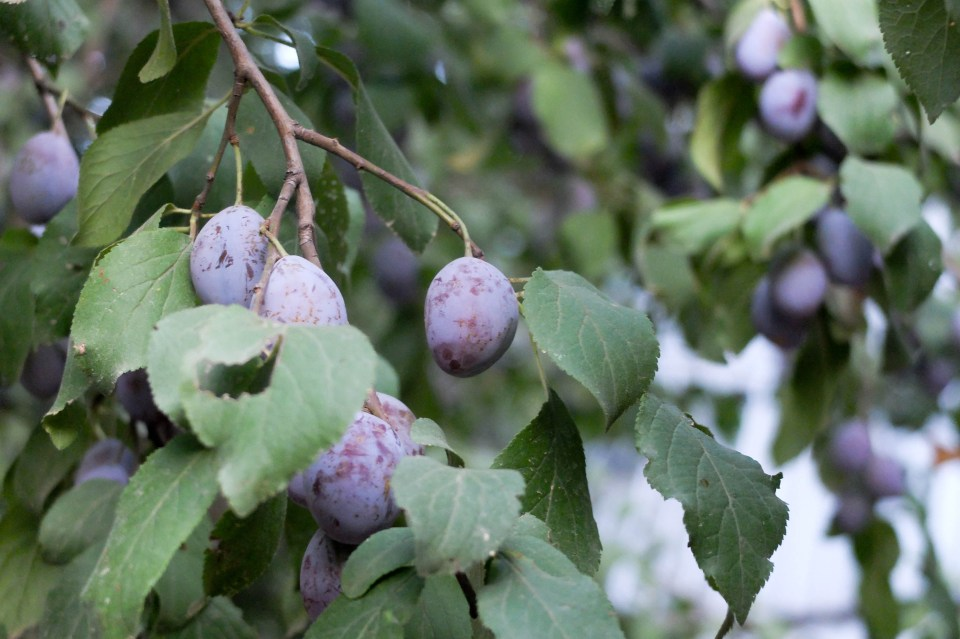 Les arbres sont chargés de kilos de prunes... pas encore mures malheureusement !