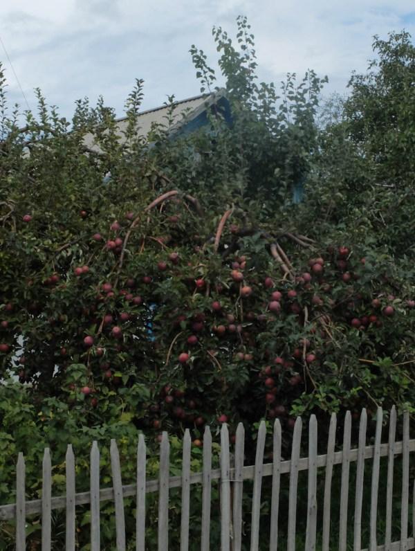 Il y aura des pommes cette année...