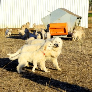 Max the Maremma with Boris and Sallie