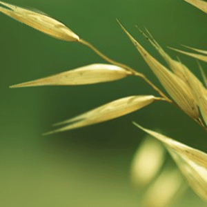 oatmeal-plant