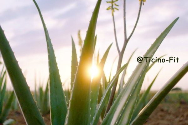 Aloe vera, alcuni segreti svelati