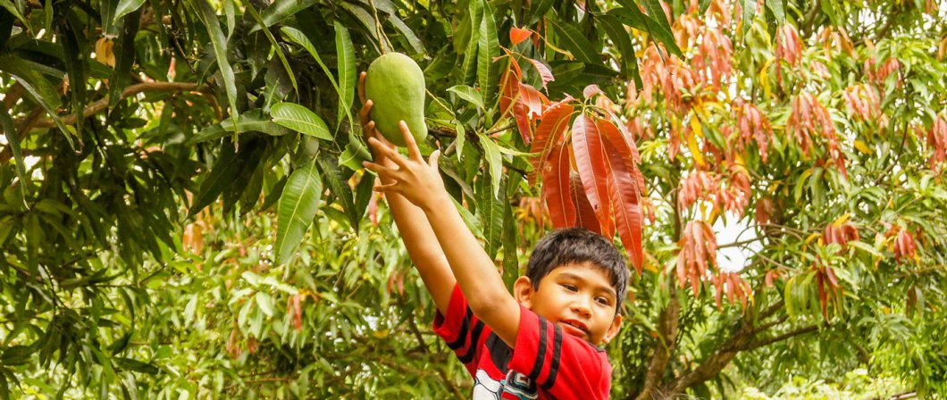 Mango Pick and Pay at Rosa Farms