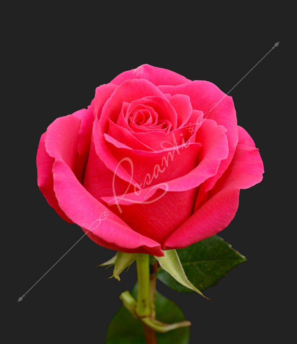 Pink floyd rosanti flowers pink floyd mightylinksfo