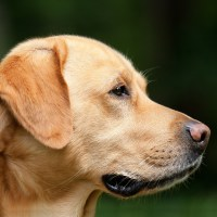 Los ojos de quién no ve: Así nacen los perros guía