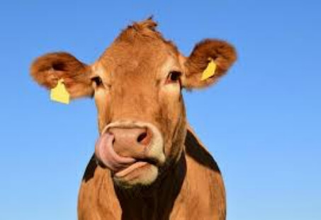 Vacca sacra